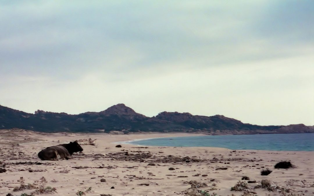 Corse en hiver, vache à la mer