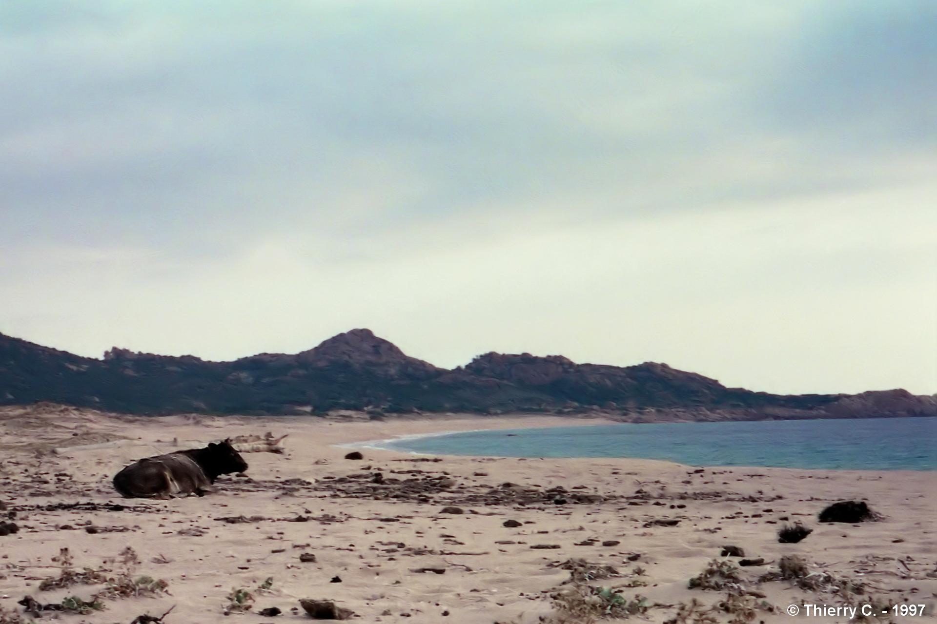 Une plage paradisiaque en Corse. Les vaches ne s'y trompent pas